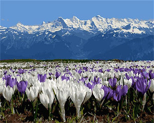 White Mountains with Purple & White Tulips