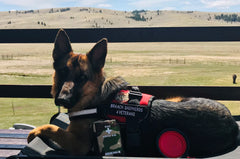 Charlie the support dog in training from Braach Shepherds 4 Veterans
