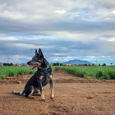 hiking dog co arizona bodhi blue heeler