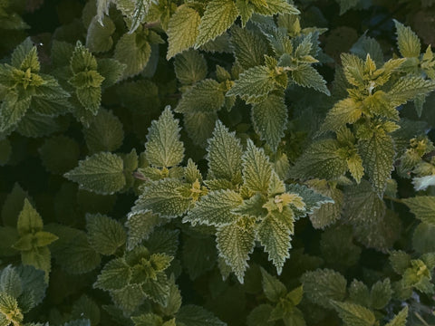 the benefits of nettle extract for hair growth