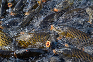 Know Your Target: Common Carp