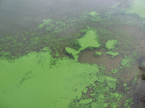 Algae blooms can be caused by carp