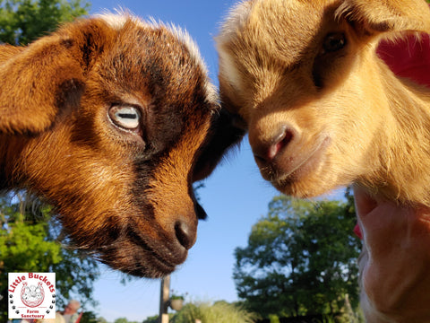 Little Buckets Farm Sanctuary Tater and Tot the Goats