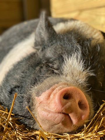 Tiny Hooves Animal Sanctuary Lionel the Potbellied Pig