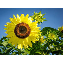 Load image into Gallery viewer, Sunflower Seed Pack   (7 Seed Packets)