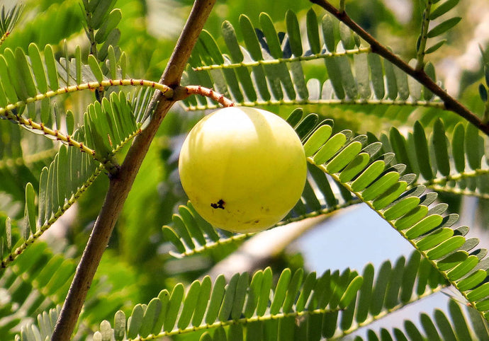 How Can Amla Benefit the Immune System?