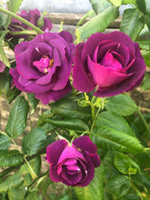 Load image into Gallery viewer, Garden Trio of Roses
