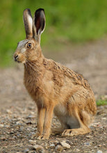 Load image into Gallery viewer, Hare in the wild - SOLD