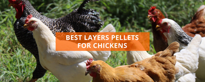Best Layers Pellets For Chickens UK