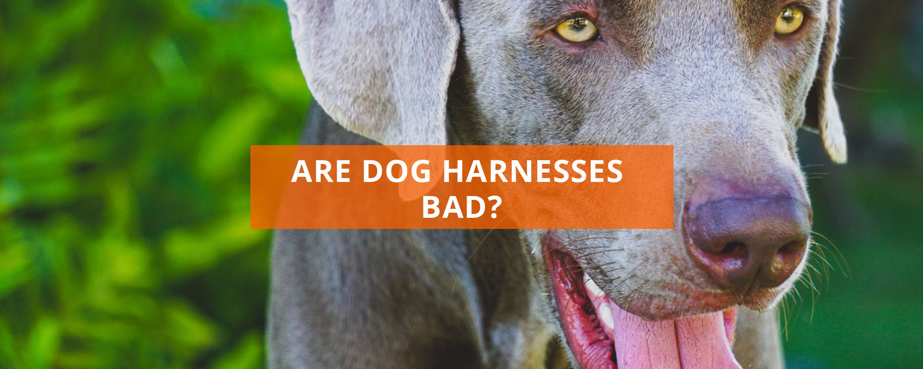Are Dog Harnesses Bad?