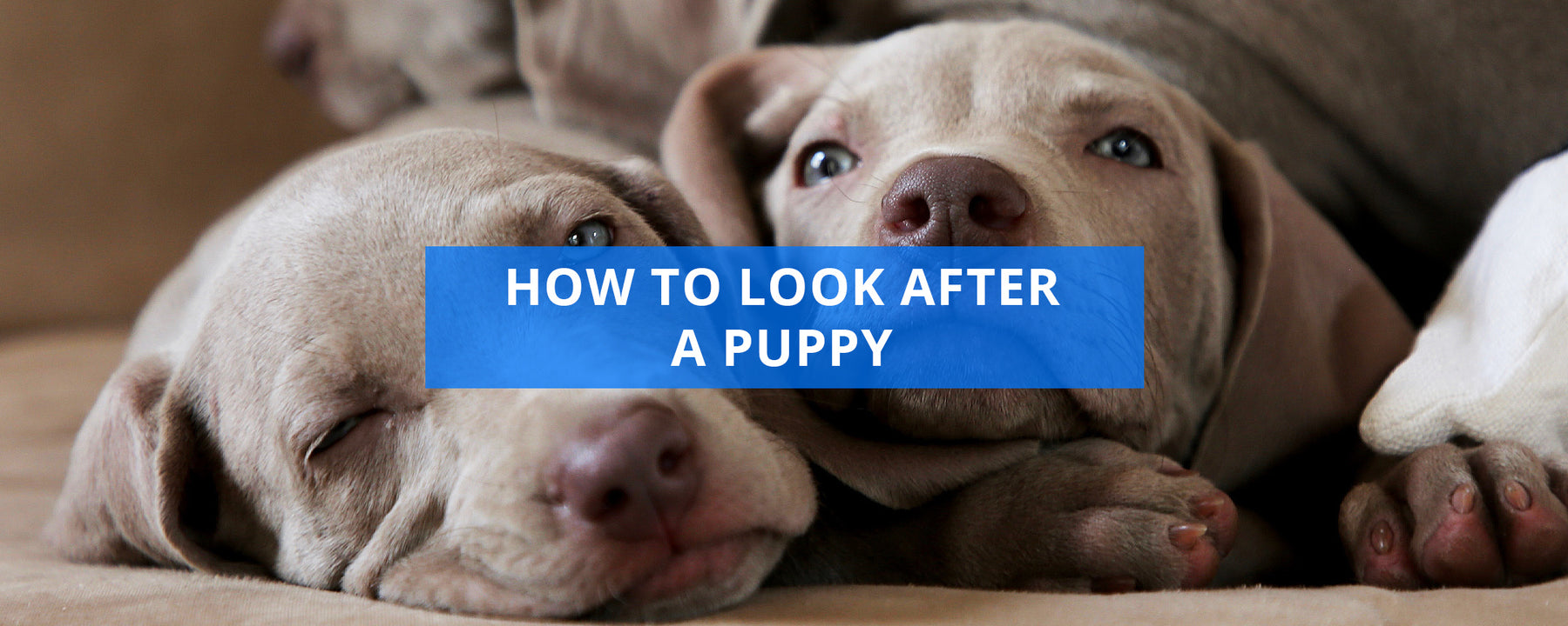 How To Look After A Puppy