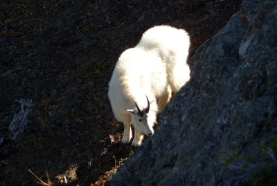 So you want to hunt Mountain Goats? - By Shad Wheeler