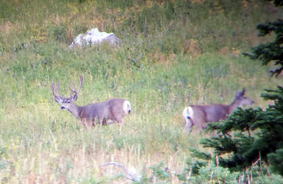 Scouting for Mule Deer - Is it worth it?