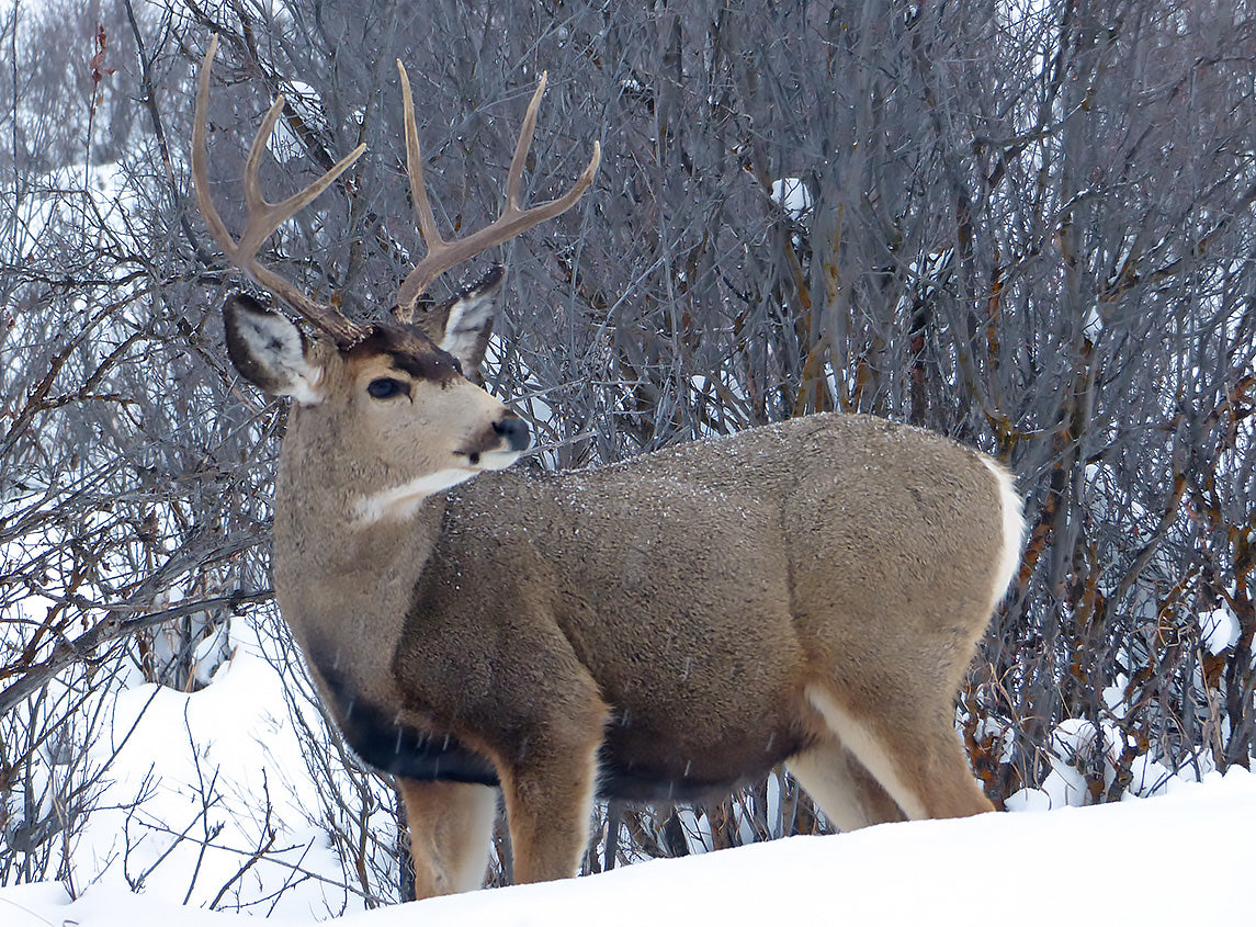 Mule Deer Winter Kill - What it means for this hunting season.