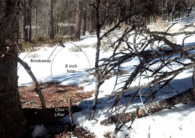 This is a basic snare set up using a tree anchor. Notice the placement of extra downed branches in the opening to the right. I also placed a branch to the left of the snare to prevent the cat from wanting to go between the set and the tree.