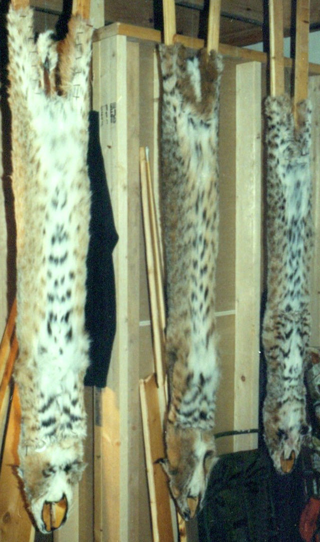 Here are three finished pelts. The one in the middle is of lowest quality due to the yellow cast on the belly.