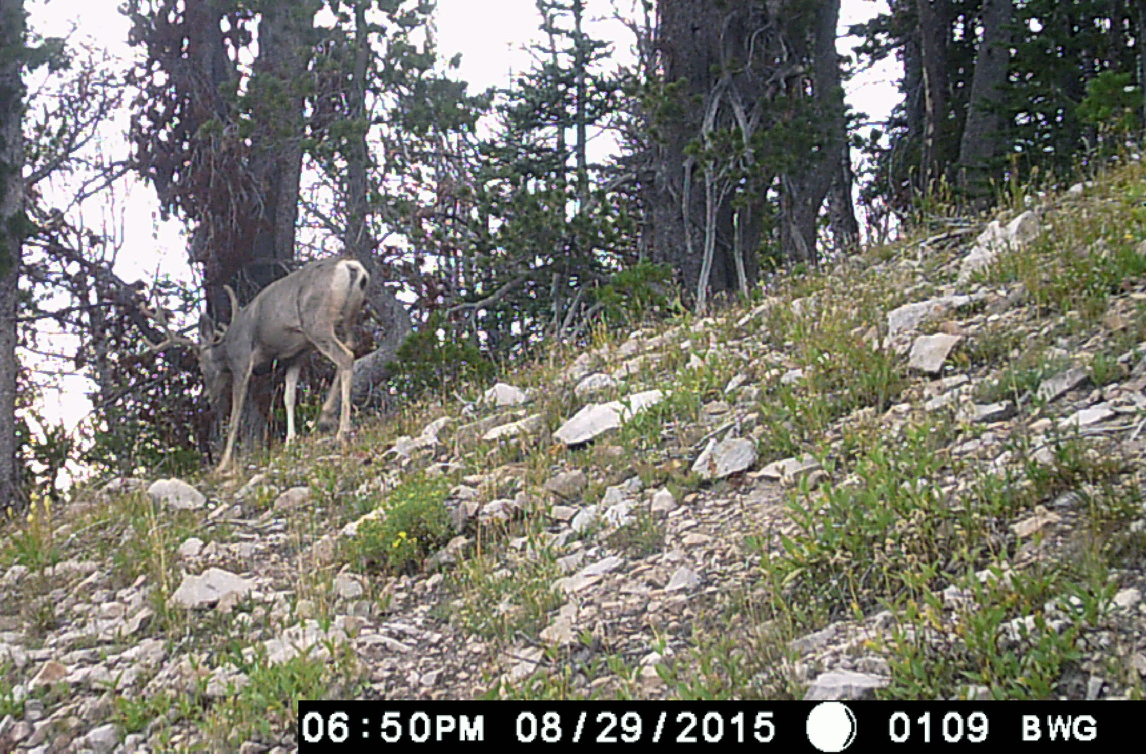 Mule Deer on Trail Cam