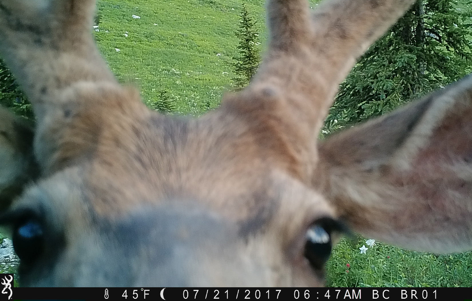Curious Mule Deer looking at Camera