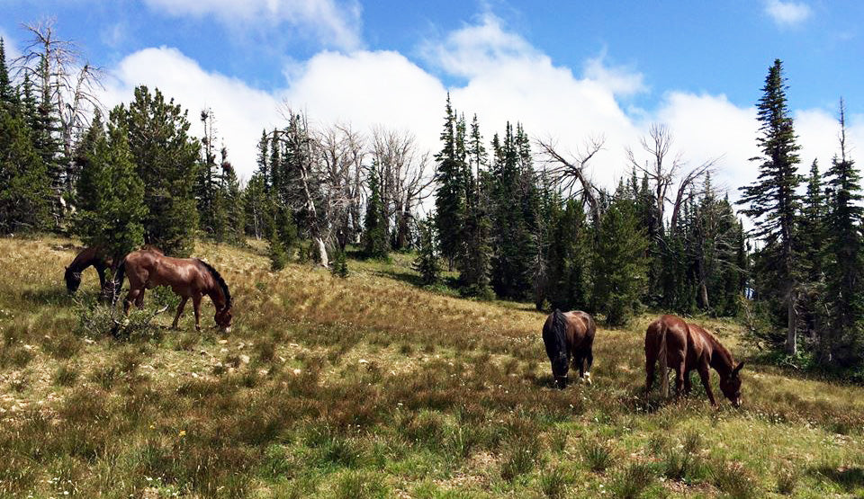 Mules and Horses in Backcountry