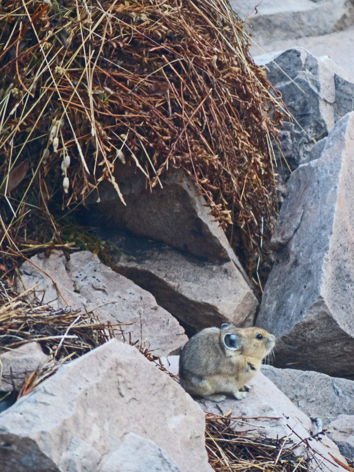 High Country Pika