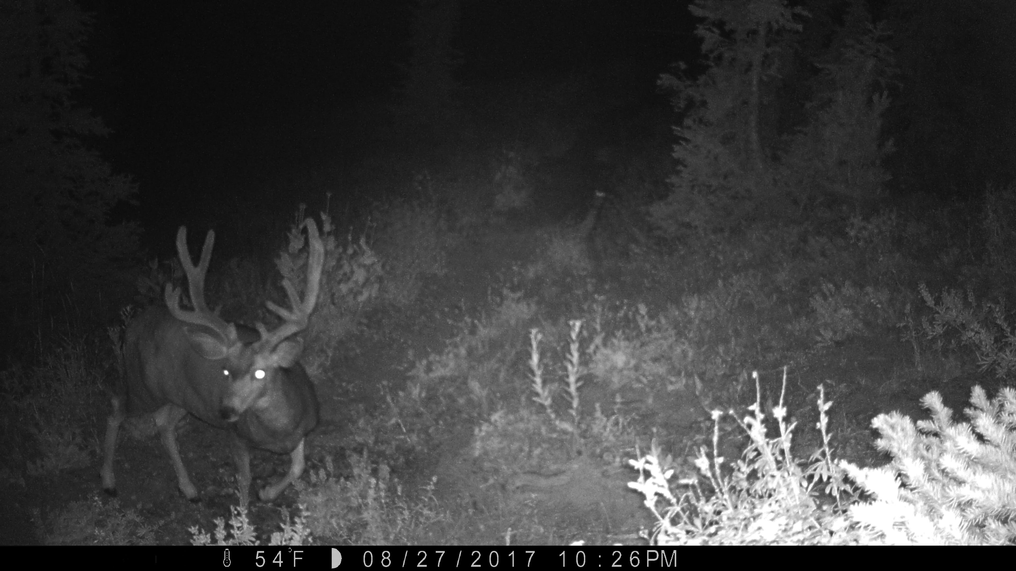 4 Point Mule Deer buck at night