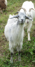 Load image into Gallery viewer, Goat purchase