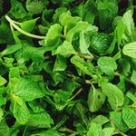 Fresh Mint Leaves - order price / 100 grams - Farm2Metro