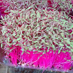 MICRO GREENS - Red/Green Amaranth - order price / 200 grams - Farm2Metro