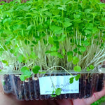 MICRO GREENS - Arugula - order price / 200 grams - Farm2Metro