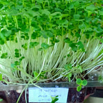 MICRO GREENS - Tatsoi - order price / 200 grams - Farm2Metro