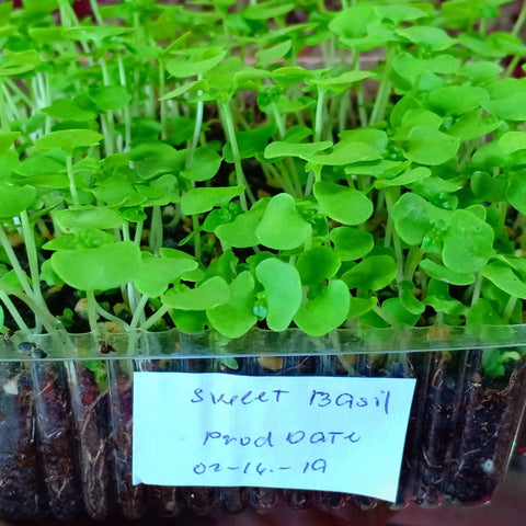 MICRO GREENS - Sweet Basil - order price / 200 grams - Farm2Metro
