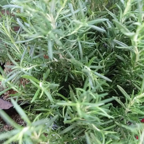 Fresh Rosemary Leaves - order price / 25grams - Farm2Metro