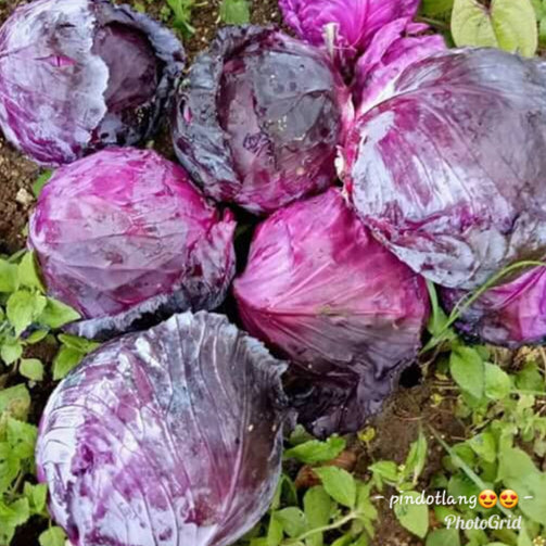 Organic Red Cabbage (order price / kilo) - Farm2Metro