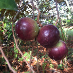 Star Apple (Caimito) - order price / kilo - Farm2Metro