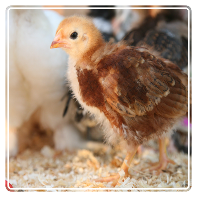 Get the BEST CHICKS with our NEW Poultry Range | Hatching Crate, Egg Setter Trays & More