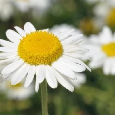 chamomile roman essential oil 3% in jojoba