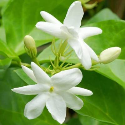 Jasmine Essential Oil 3%in Jojoba 15ml