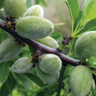 Why Certified Organic Almonds