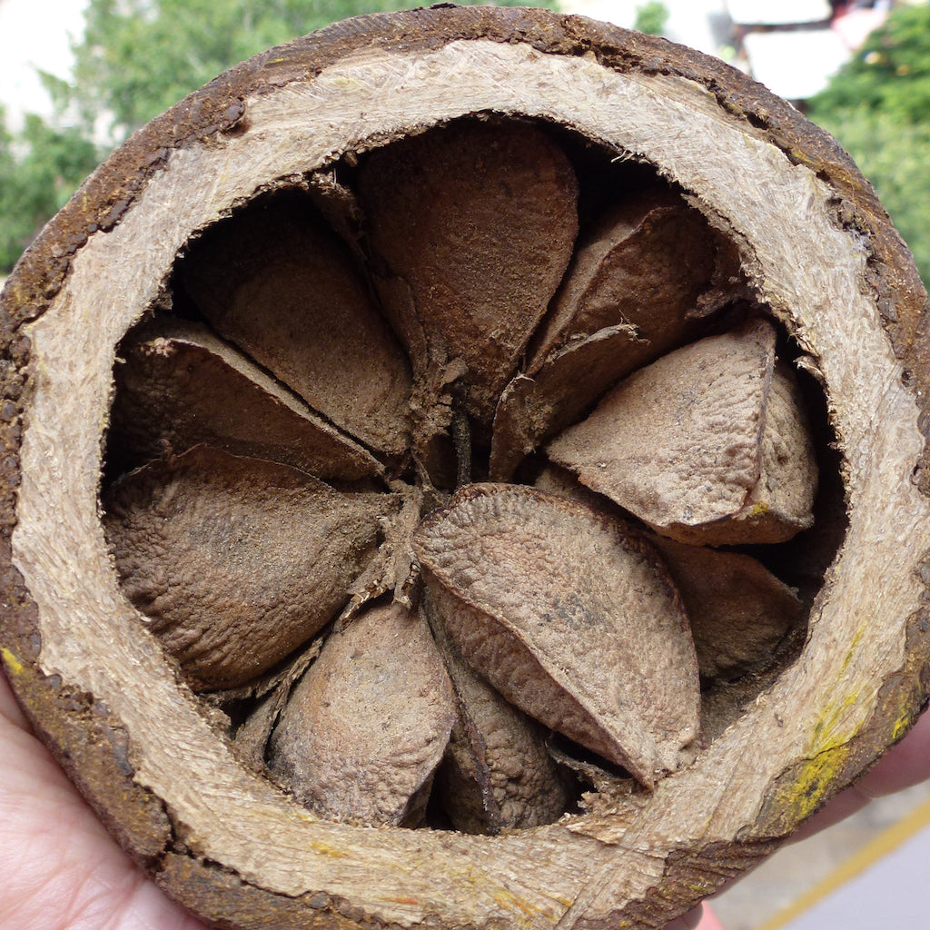 Brazil Nut On The Tree In The Amazon Basin