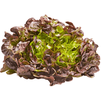 Lettuce Hydroponic Red Oak