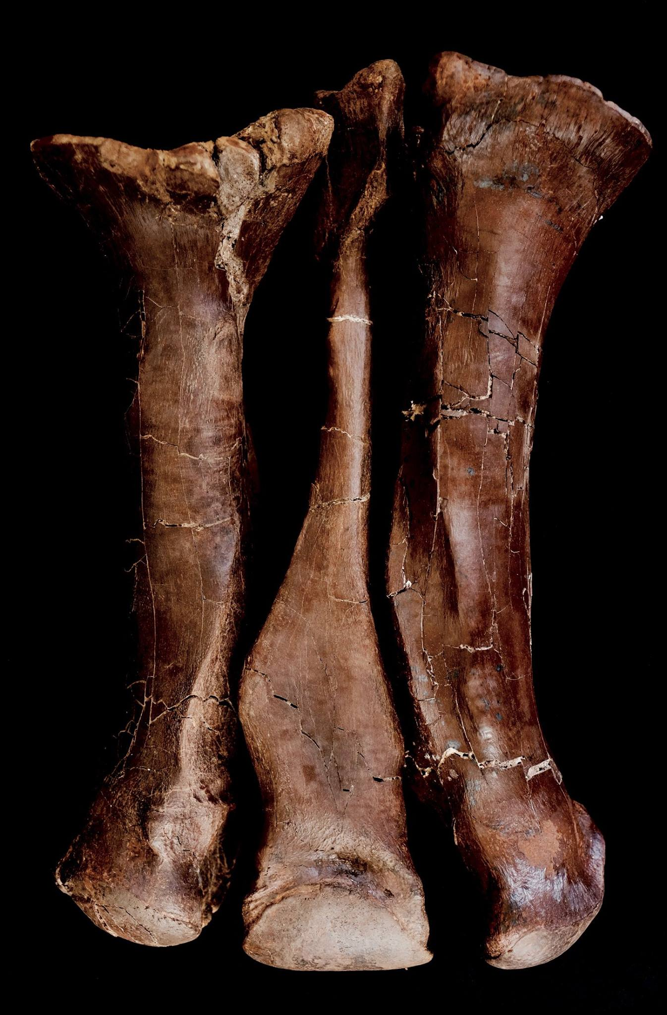 Tyrannosaurus rex - metatarsals  These are the three metatarsals from Victoria's left leg. There is evidence that she may have suffered a tendon avulsion, which would have made walking or running very painful.    (approx. 65 million years old)