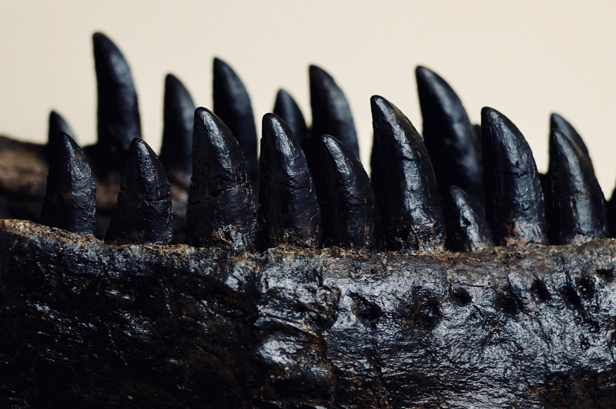 Allosaurus jimmadseni  This is a close up of the teeth of an Allosaur named Dracula.  (cast of the original specimen)    (approx. 150 Million years old)