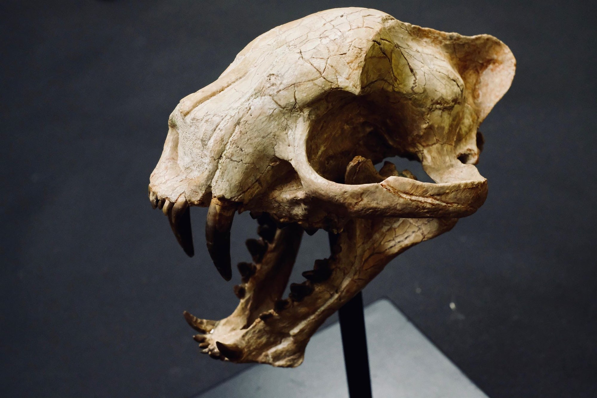 "Dinictus  Also known as ""false saber-toothed cats"", these carnivores likely looked like a small leopard.    (approx. 35 million years old)"