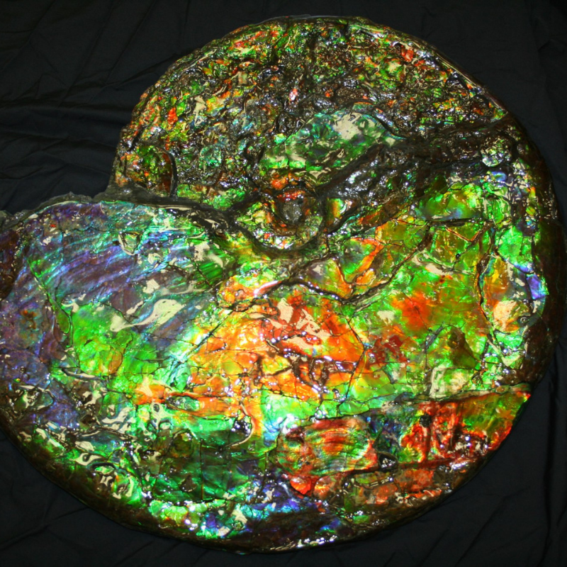 Ammonites from Alberta, Canada are renowned for the vibrant colours that can form on the shell, called ammolite, which is made from fossilized aragonite found within the ammonite's shell. (approx. 70 million years old)