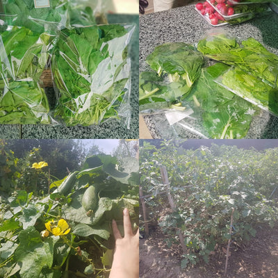 Harvesting vegetables at Health Hut Farm