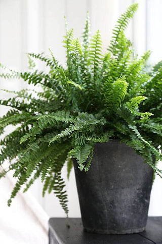 boston fern in black pot sitting atop table
