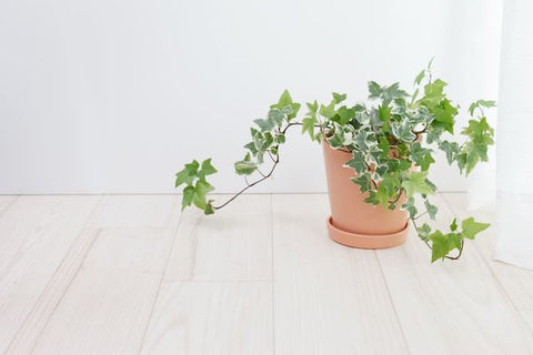 English Ivy Plant on Wooden floor