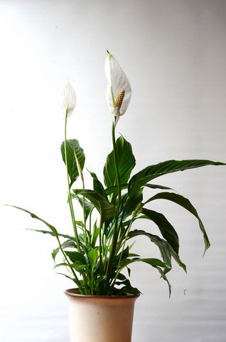 Peace lily in pot, lit from the left