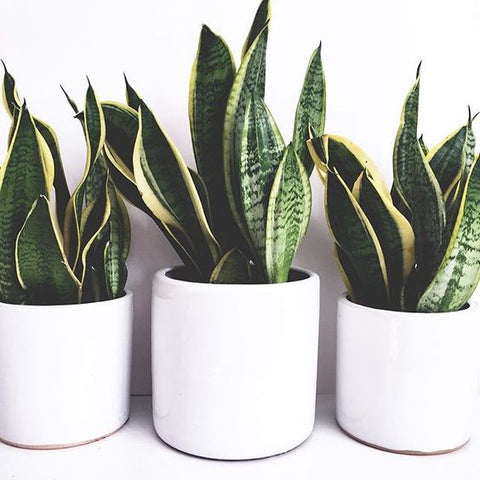 close up of three snake plants in white pots