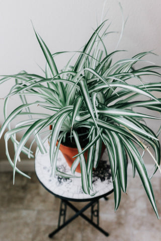 Spider plant sitting atop small tiled table
